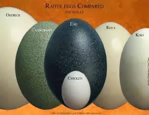 Kiwi egg vs ostrich egg - photo#5