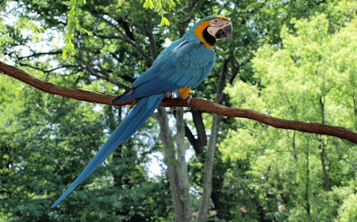 Perico - Parrot - Perruche - 长尾鹦鹉 - Sittich