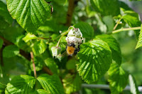 busy bee in the raspberry flowers