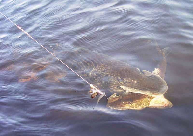 подводная охота на щуку на озере видео