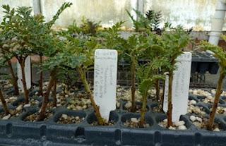 Beberapa Tumbuhan Tertua Di Dunia
