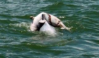 Induk Lumba-Lumba Terus Menggendong Jasad Bayinya Berhari-hari