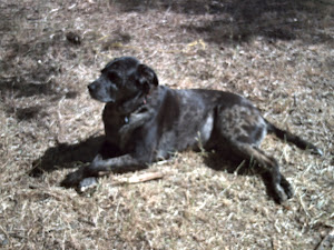 Lucy our Lab mix in March 2011