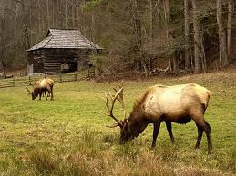 Elk in Cataloochee