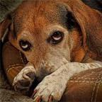 olhar de cão