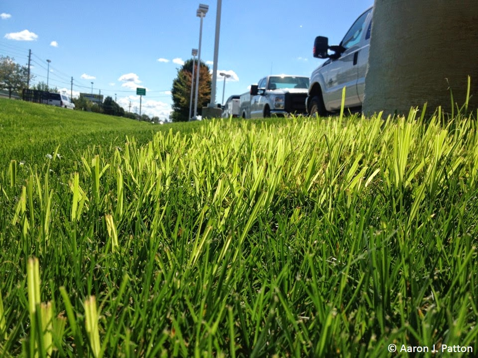 Purdue Turf Tips: Weed of the month for June 2014 is Yellow Nutsedge