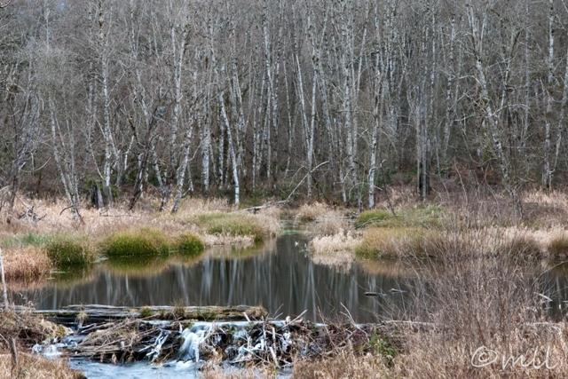 Photo: Beaver Dam near Woodland