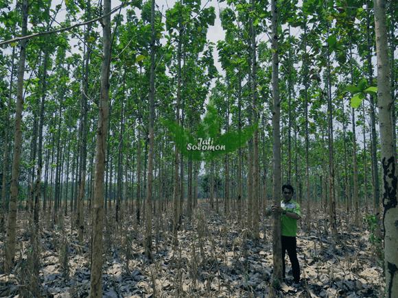 Pohon_Jati_Solomon_Umur_3_tahun_Semarang1