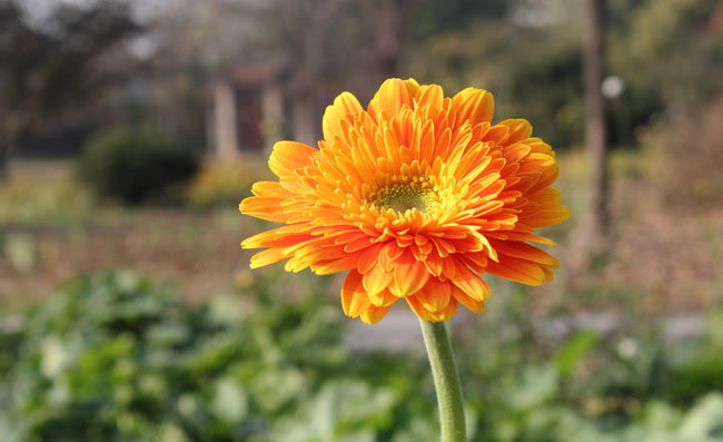 Gerbera Flowers Pictures