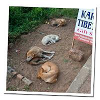 manada de perros india