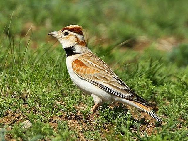 Foto Burung Pekling Terbaik
