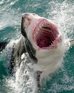 Como Sobreviver a um Ataque de Tubarão Branco
