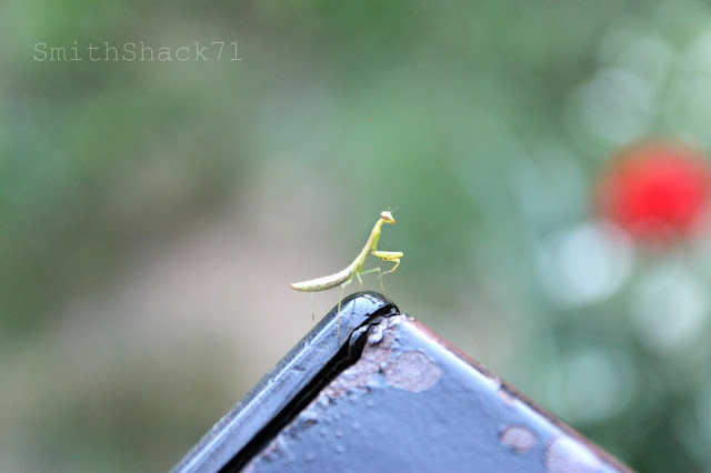 smithshack71 praying mantis