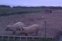 pigs in a field - waa-heeey!
