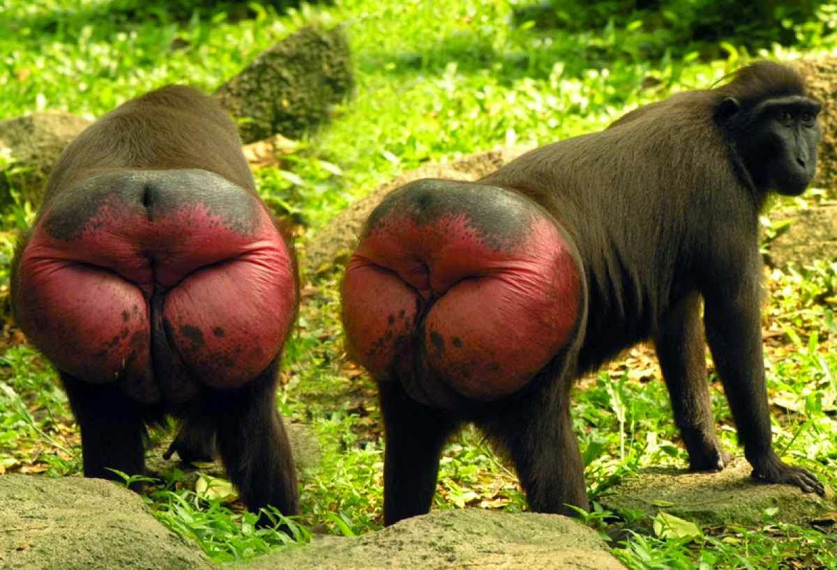 FotoMorfosis - Página 6 Macaqueblack