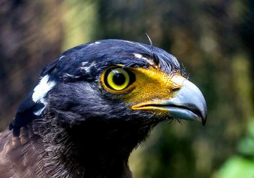 Indian birds - Image of Crested serpent eagle - Spilornis cheela