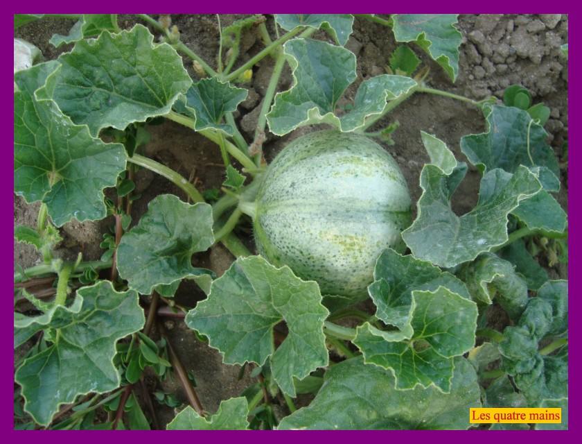 Les quatre mains la culture du melon - Culture du melon charentais ...