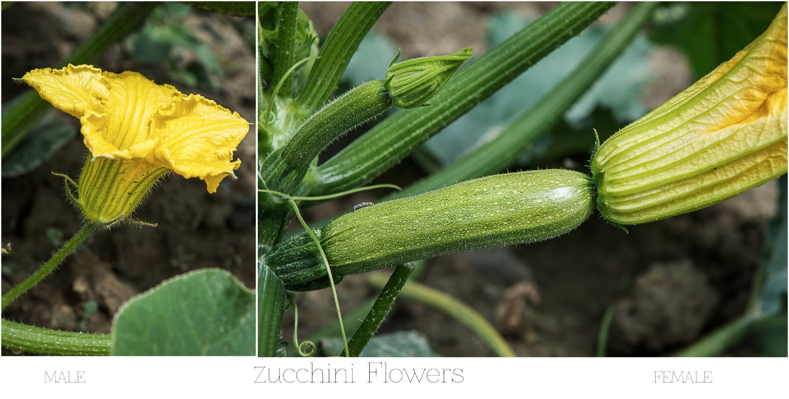 how to tell a male zucchini flower from a female