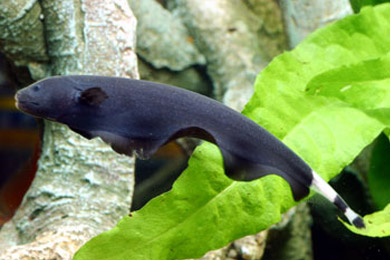 Knifefish : Aqua Fanatic: Black Ghost Knifefish - Profile