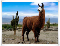 Guanaco Animal Pictures