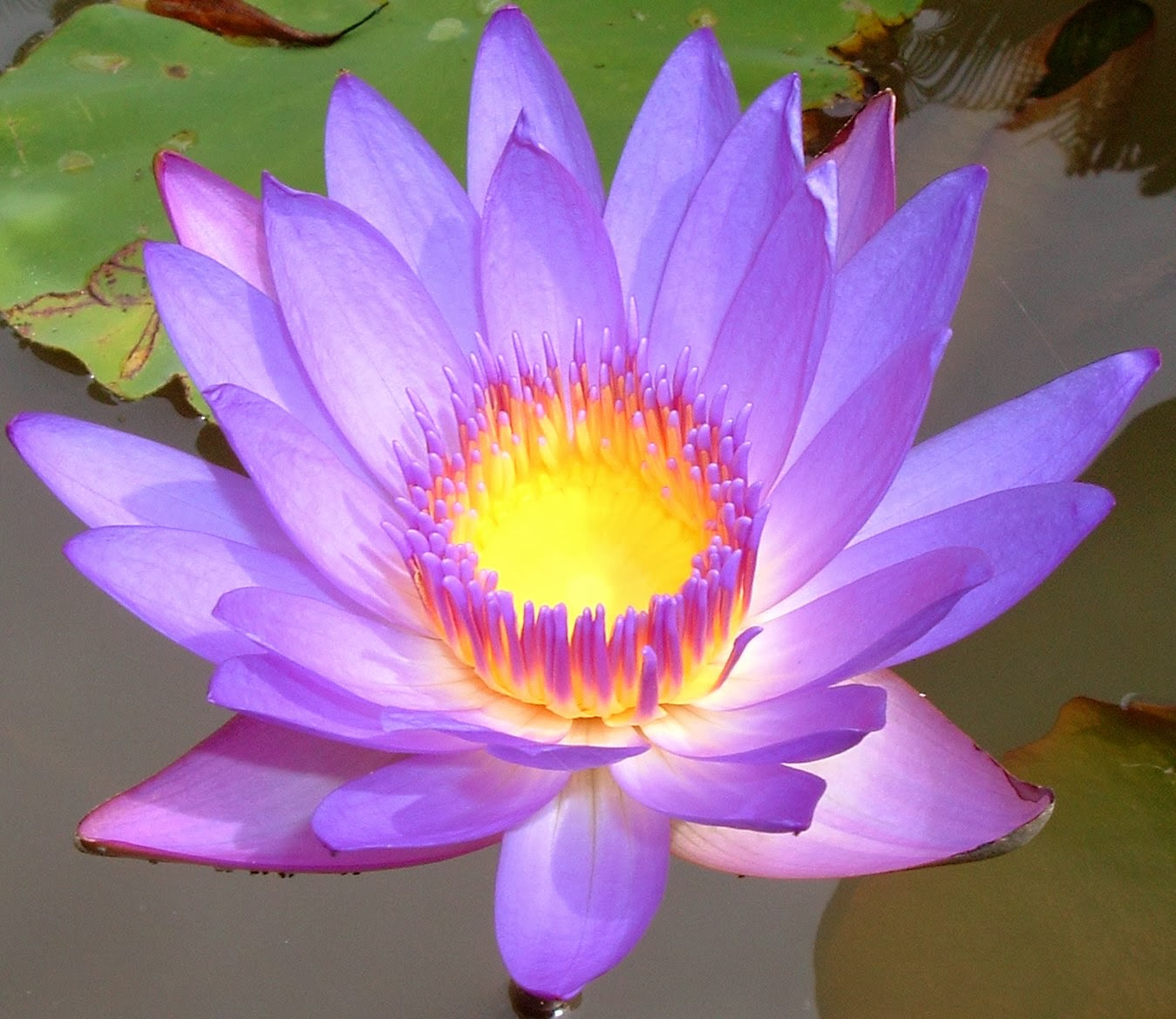 Beauty flower lotus flowers lotus flowers type of flowers mightylinksfo