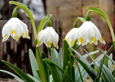 фото белоцветника