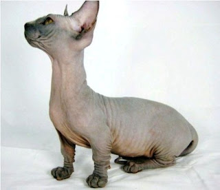 foto kucing bambino