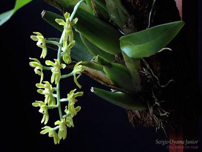 Orquídea Gomesa recurva