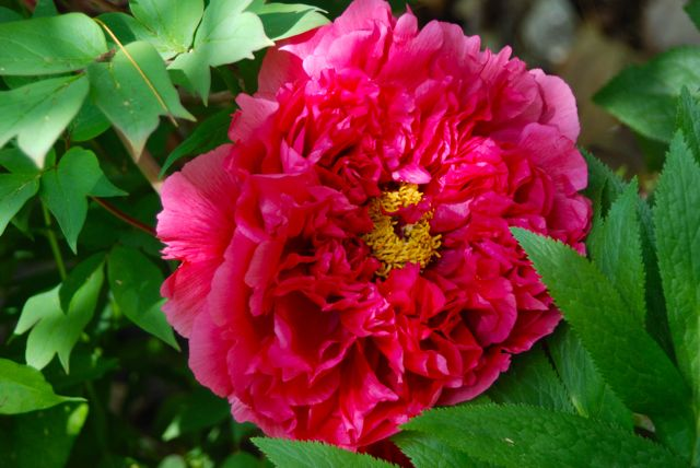 Ruffly deep pink tree peony (Paeonia suffruticosa) on the terrace...