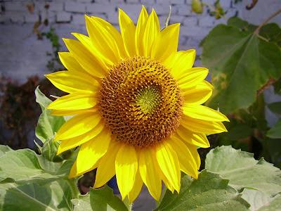 Gambar Bagus Bunga Matahari