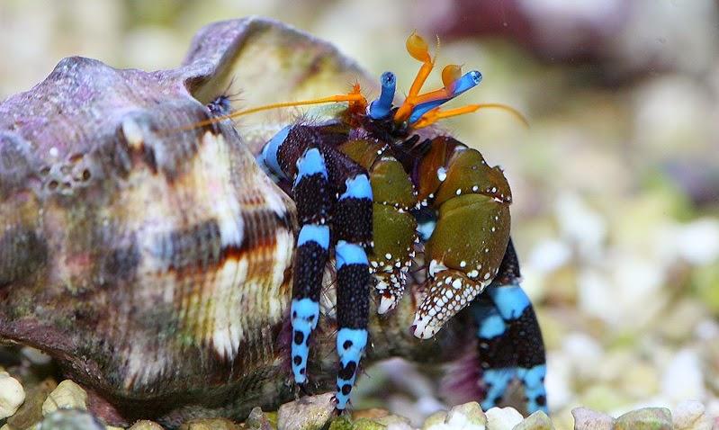 Halloween Hermit Crab | Beetle Boy S Bioblog Species Of The Week Hermit Crabs