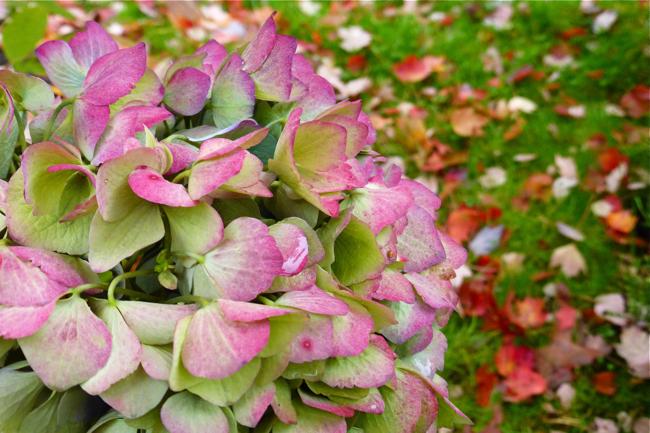 hydrangea, hydrangea bush, hydrangea colors