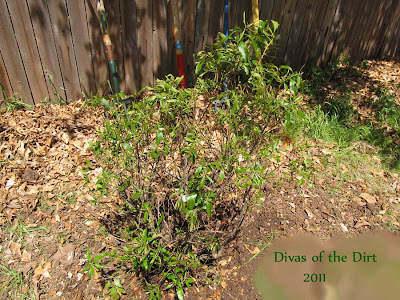 Divasofthedirt,southern wax myrtle 2