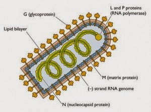 Hình mô phỏng Vesiculovirus. Ảnh minh họa