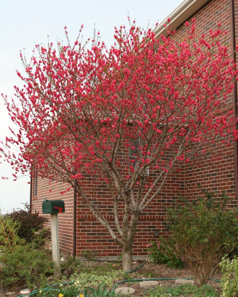 Small Ornamental Trees For Kansas: Garden Musings: April 2011