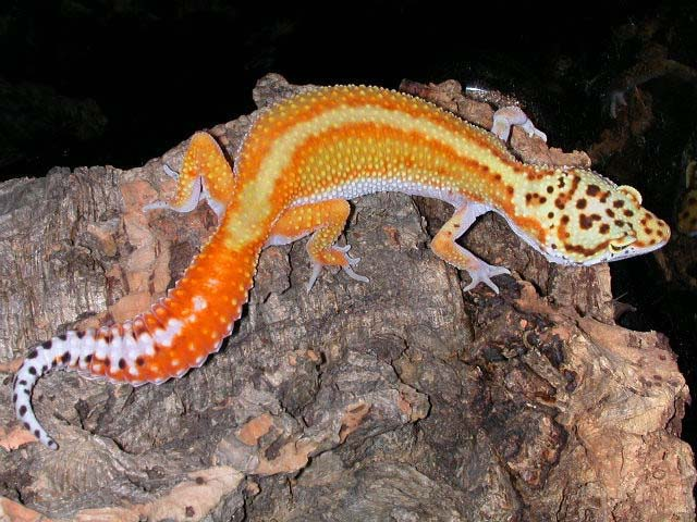 red stripe leopard gecko