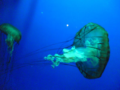 jelly fish blue aquarium