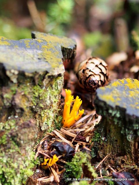 pięknoróg największy , pięknoróg lepki , prosto z lasu , las , grzybobranie , na grzyby , atlas grzybów , poznaj nowe gatunki , grzyby gatunkami