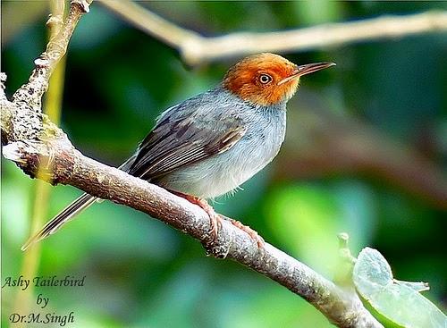 Foto Burung Ciblek Jantan