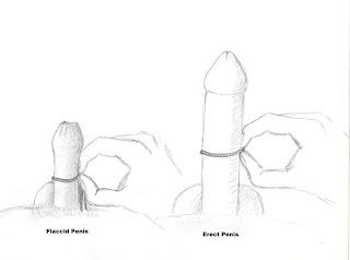 girth of penis