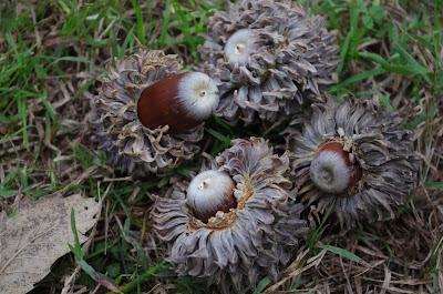 Quercus ithaburensis macrolepis