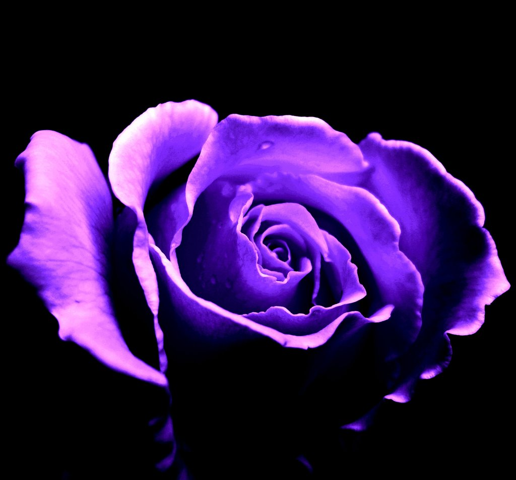Should i will u for Purple rose pictures