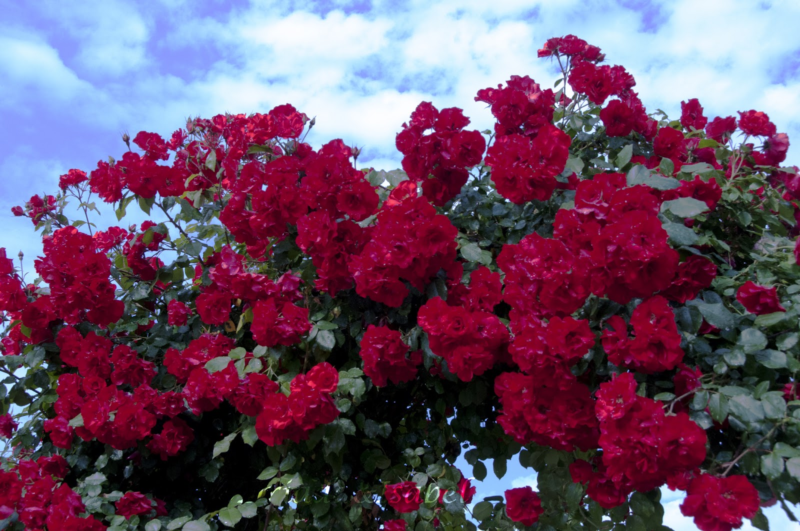 La magia de mi jardin el ingl s y la sevillana for Cancion jardin de rosas en ingles