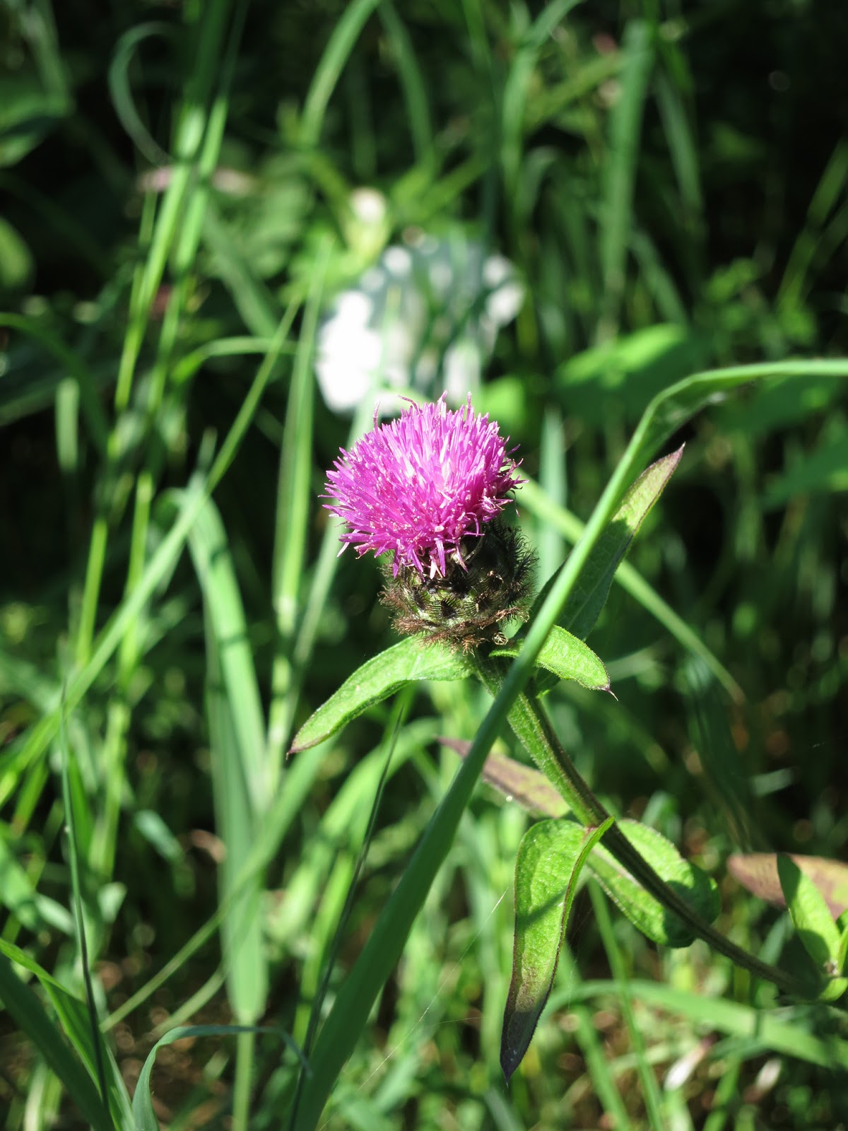 One knapweed flower (purple - like clover on a thistle base) in grass