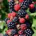 How to Grow Blackberries #Organic_Gardening