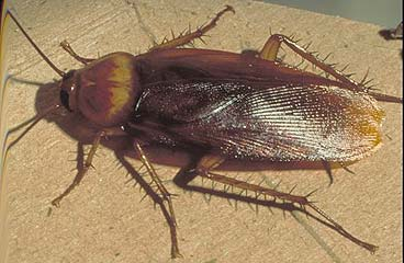 http://4.bp.blogspot.com/-54nWWCY55H8/TZm32bb3yqI/AAAAAAAAAEM/9LL2LRPAGaU/s1600/cucaracha.jpg