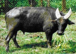8 Tamaraw %Category Photo