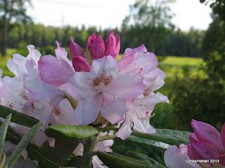 Rhododendron Mikkelii