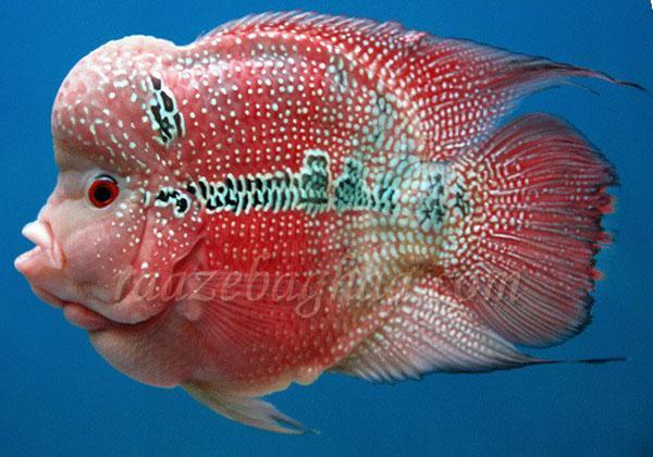 Flower horn or flower fish saqib bashir for Flower horn fish