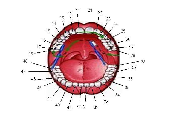 Preferência G News: Curiosidades - Nomenclatura e numeração dos dentes. XP68